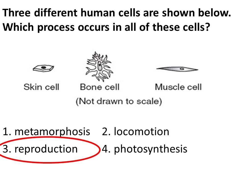 Three different human cells are shown below. Which process occurs in all of these cells? 1. metamorphosis 2. locomotion 3. reproduction 4. photosynthe