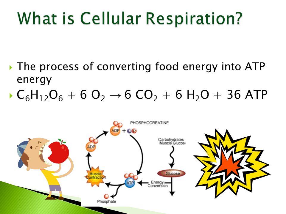  The process of converting food energy into ATP energy  C 6 H 12 O 6 + 6 O 2 → 6 CO 2 + 6 H 2 O + 36 ATP