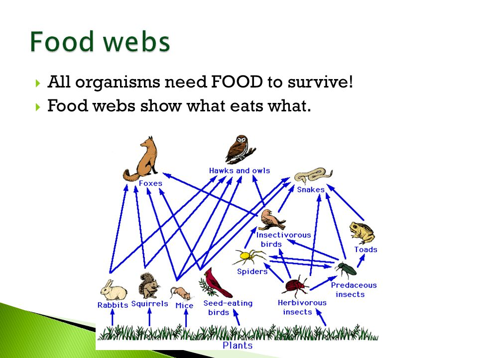  All organisms need FOOD to survive!  Food webs show what eats what.