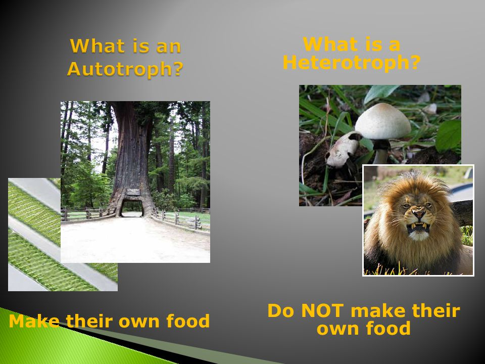 Make their own food What is a Heterotroph Do NOT make their own food
