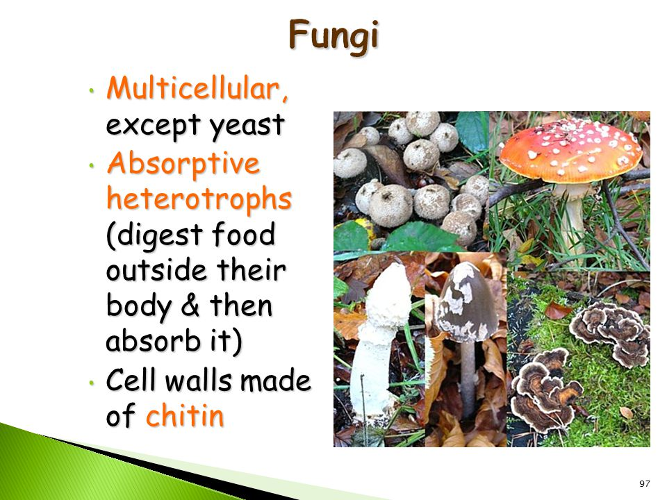 97 Multicellular, except yeast Multicellular, except yeast Absorptive heterotrophs (digest food outside their body & then absorb it) Absorptive heterotrophs (digest food outside their body & then absorb it) Cell walls made of chitin Cell walls made of chitin