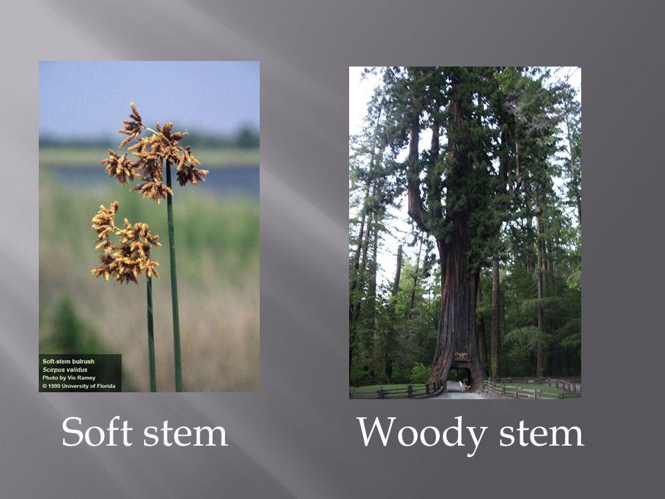 Soft stemWoody stem