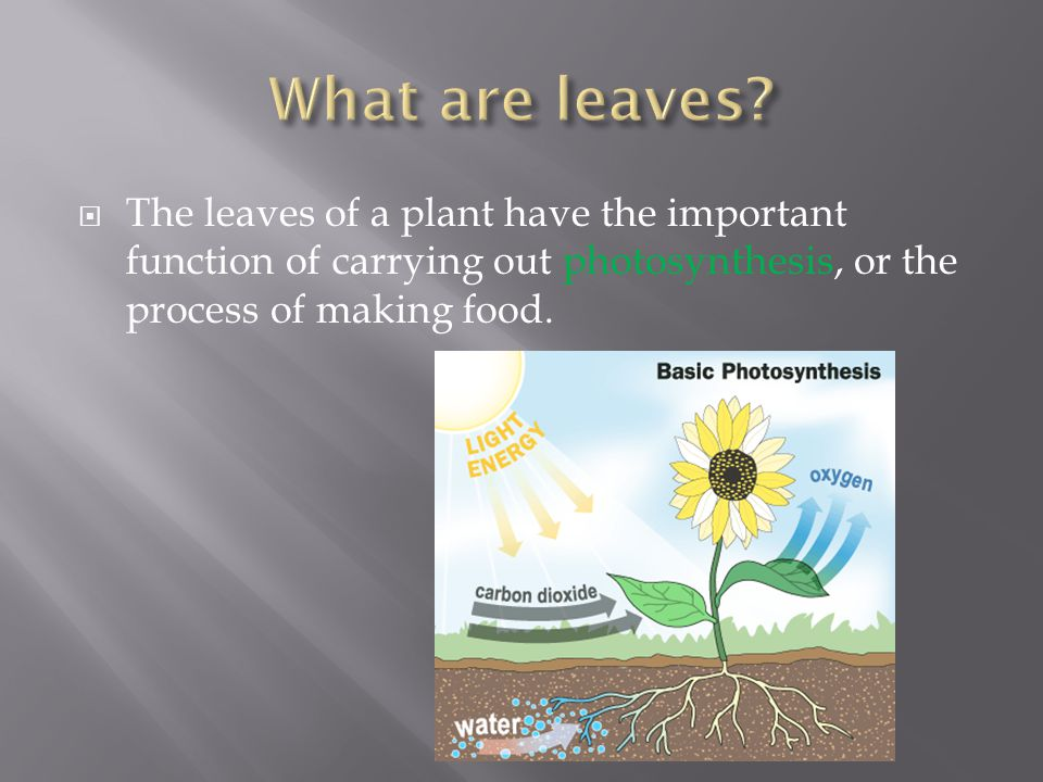  The leaves of a plant have the important function of carrying out photosynthesis, or the process of making food.