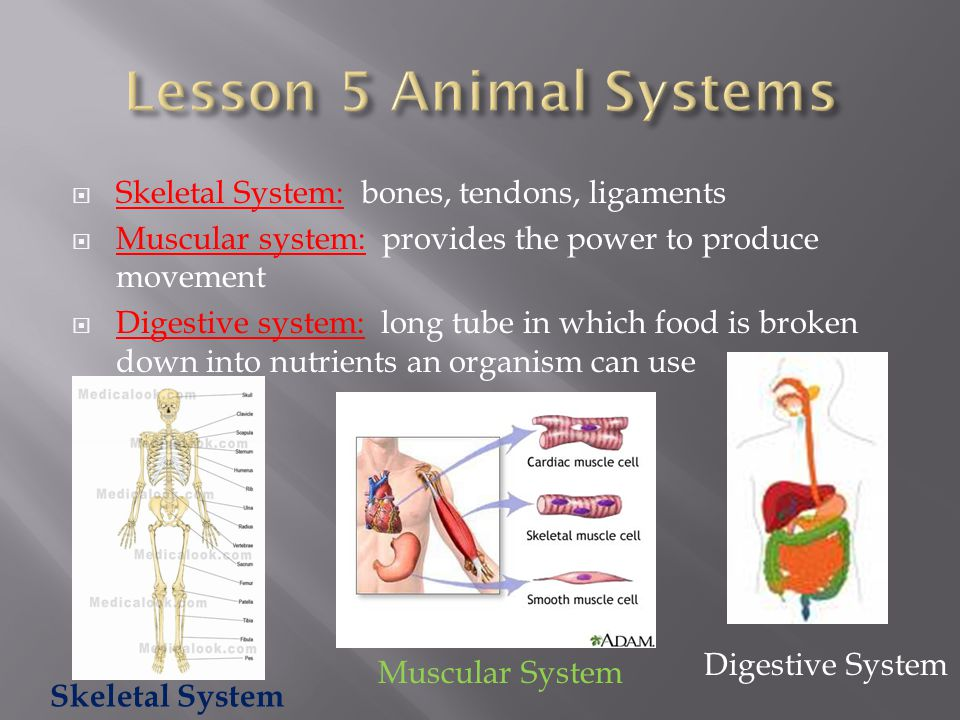  Skeletal System: bones, tendons, ligaments  Muscular system: provides the power to produce movement  Digestive system: long tube in which food is