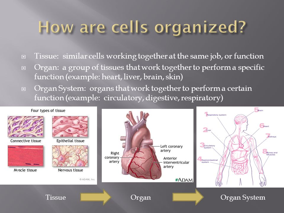  Tissue: similar cells working together at the same job, or function  Organ: a group of tissues that work together to perform a specific function (e