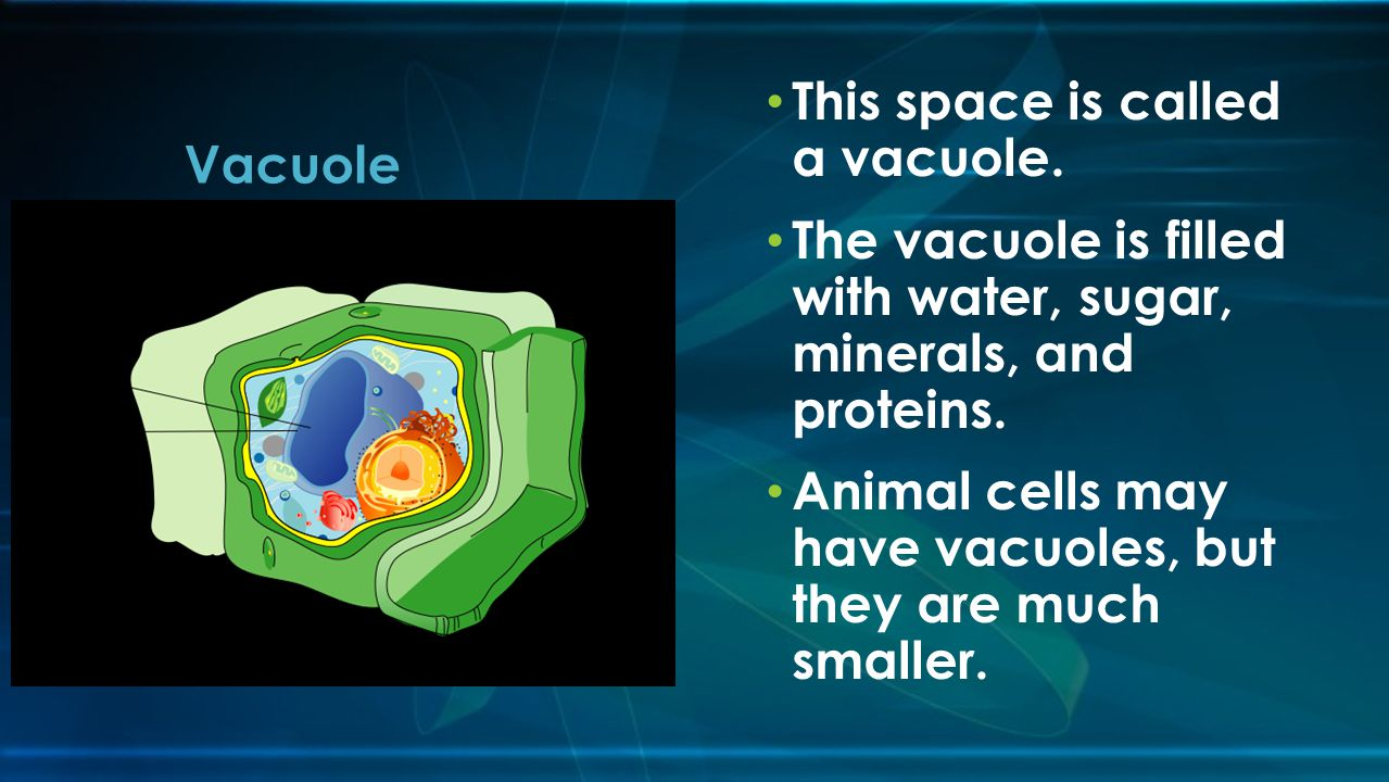 This space is called a vacuole.The vacuole is filled with water, sugar, minerals, and proteins.