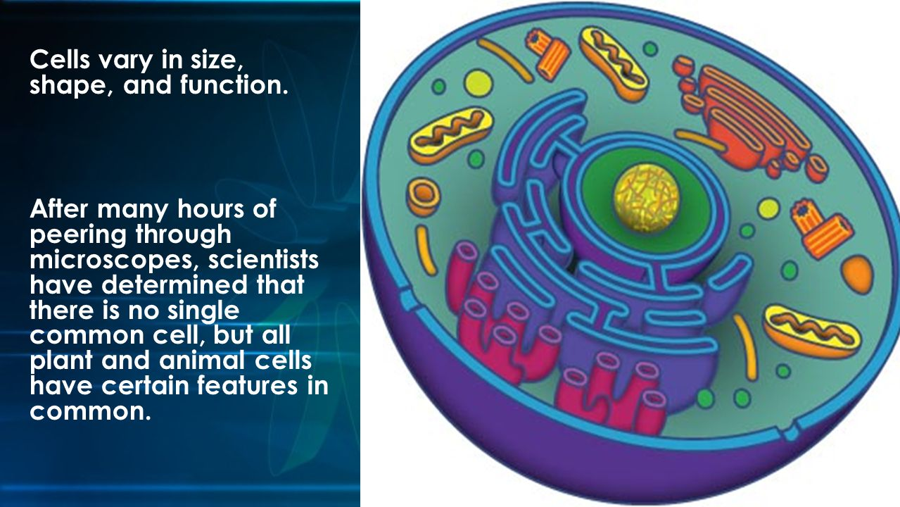 Cells vary in size, shape, and function.