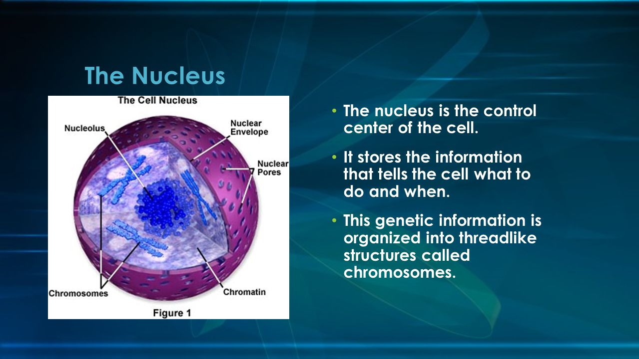 The Nucleus The nucleus is the control center of the cell.