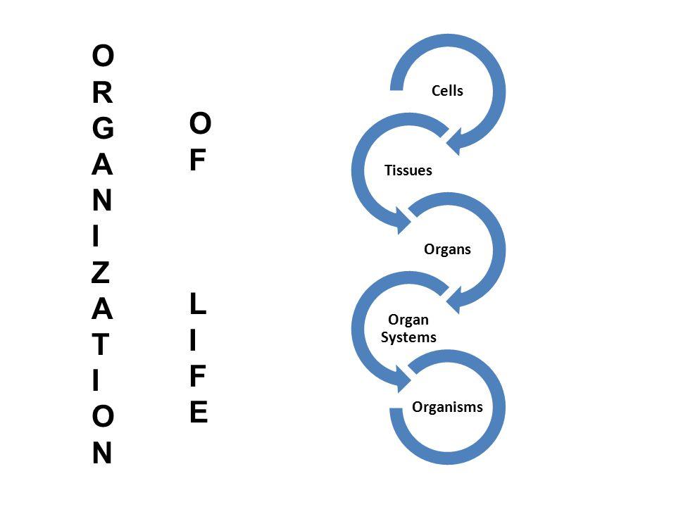 Cells Tissues Organs Organ Systems Organisms ORGANIZATION ORGANIZATION OFLIFEOFLIFE