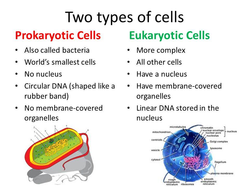 Eukaryotic Cells Animal Cells 1.Nucleus 2.Ribosomes 3.Cell Membrane 4.Endoplasmic Reticulum 5.Lysosomes 6.Mitochondria 7.Golgi Complex Plant Cells 1.Nucleus 2.Ribosomes 3.Cell Membrane 4.Endoplasmic Reticulum 5.Lysosomes 6.Mitochondria 7.Golgi Complex 8.Cell Wall 9.Large Vacuole 10.Chloroplast