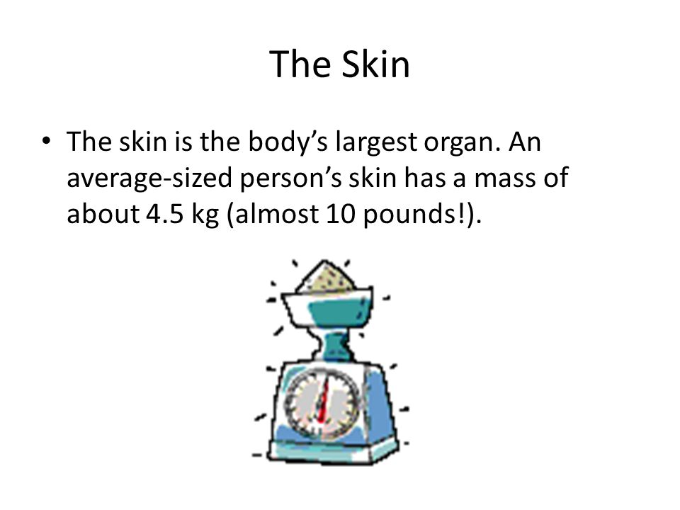 The Skin The skin is the body's largest organ. An average-sized person's skin has a mass of about 4.5 kg (almost 10 pounds!).
