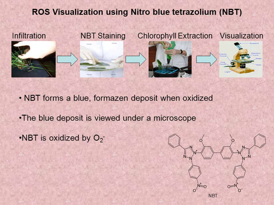 ROS Visualization using Nitro blue tetrazolium (NBT) InfiltrationNBT StainingChlorophyll ExtractionVisualization NBT forms a blue, formazen deposit wh