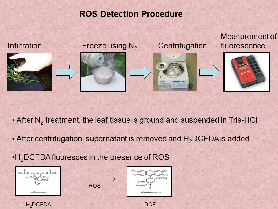 ROS Detection Procedure InfiltrationCentrifugationFreeze using N 2 Measurement of fluorescence After N 2 treatment, the leaf tissue is ground and susp