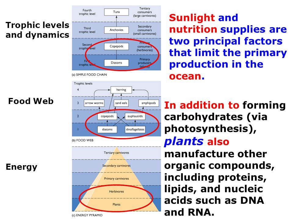 Trophic levels and dynamics Food Web Energy Sunlight and nutrition supplies are two principal factors that limit the primary production in the ocean.