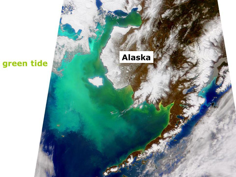 Alaska green tide