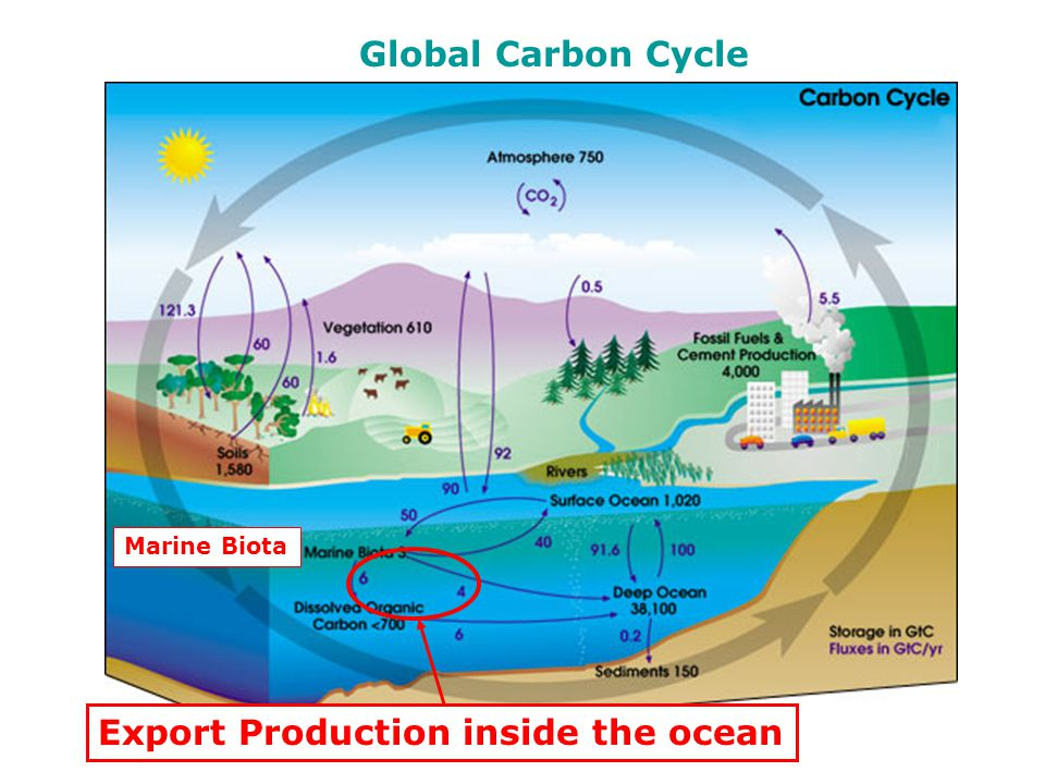 Global Carbon Cycle Marine Biota Export Production inside the ocean