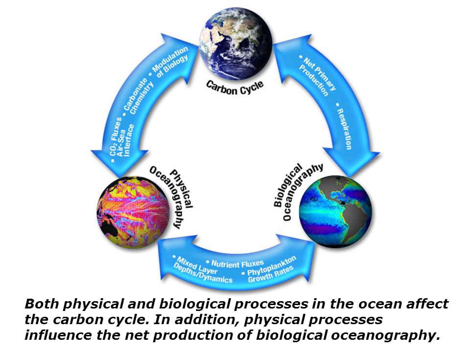 Both physical and biological processes in the ocean affect the carbon cycle.