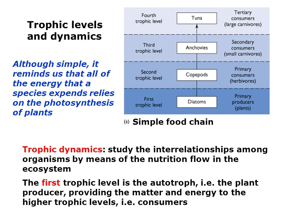 Trophic levels and dynamics Trophic dynamics: study the interrelationships among organisms by means of the nutrition flow in the ecosystem The first trophic level is the autotroph, i.e.