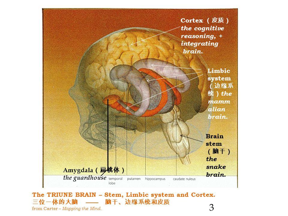 The TRIUNE BRAIN – Stem, Limbic system and Cortex.
