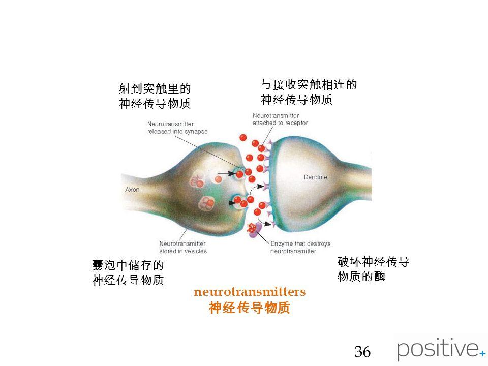 neurotransmitters 神经传导物质 36 射到突触里的 神经传导物质 与接收突触相连的 神经传导物质 囊泡中储存的 神经传导物质 破坏神经传导 物质的酶