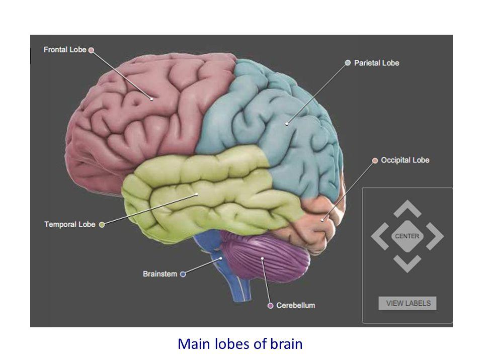 Main lobes of brain