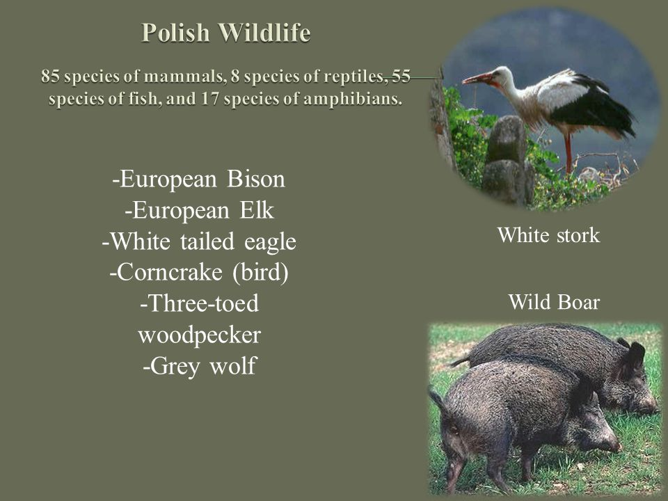 -European Bison -European Elk -White tailed eagle -Corncrake (bird) -Three-toed woodpecker -Grey wolf White stork Wild Boar