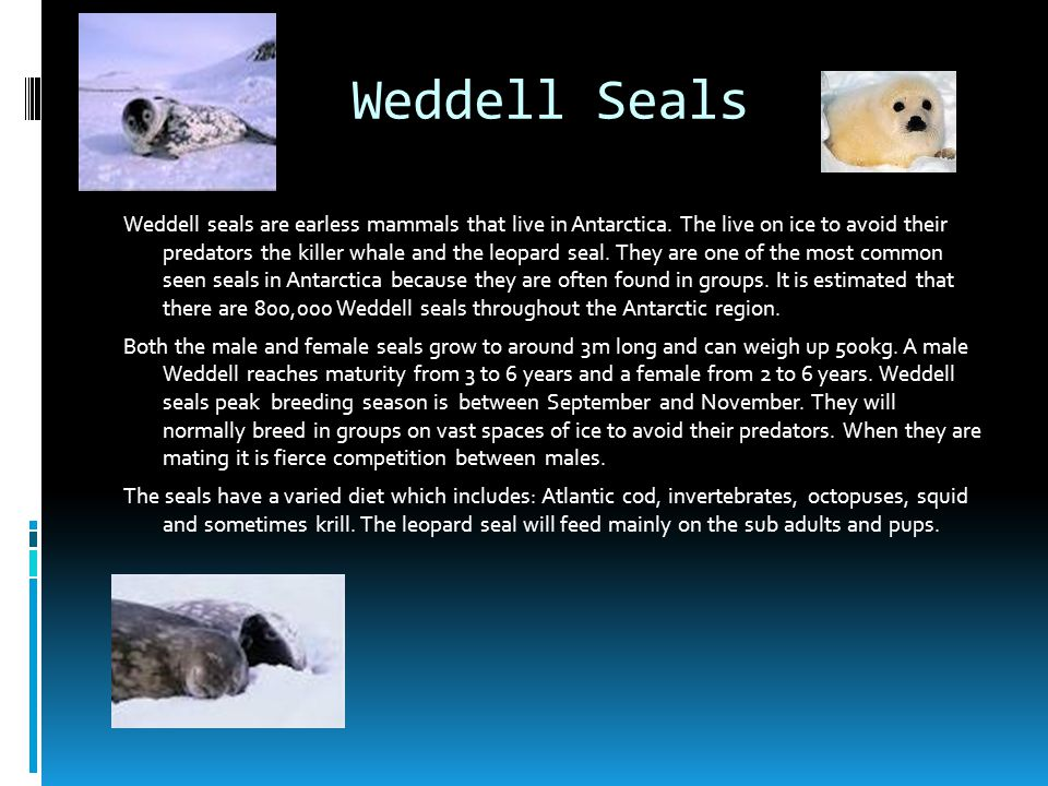 Weddell Seals Weddell seals are earless mammals that live in Antarctica. The live on ice to avoid their predators the killer whale and the leopard sea