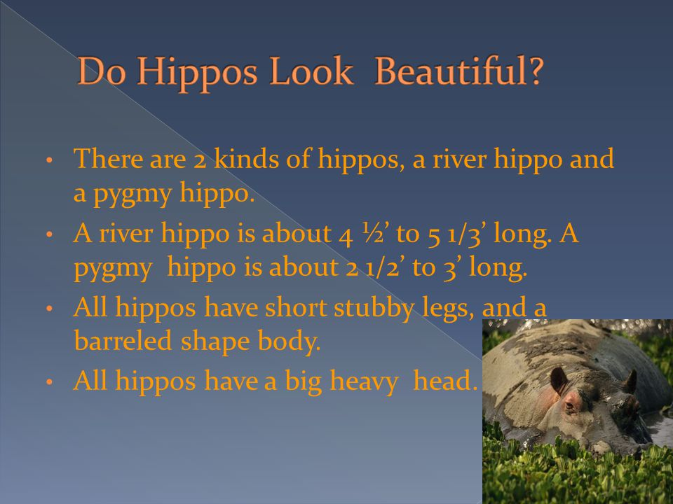 There are 2 kinds of hippos, a river hippo and a pygmy hippo. A river hippo is about 4 ½' to 5 1/3' long. A pygmy hippo is about 2 1/2' to 3' long. Al