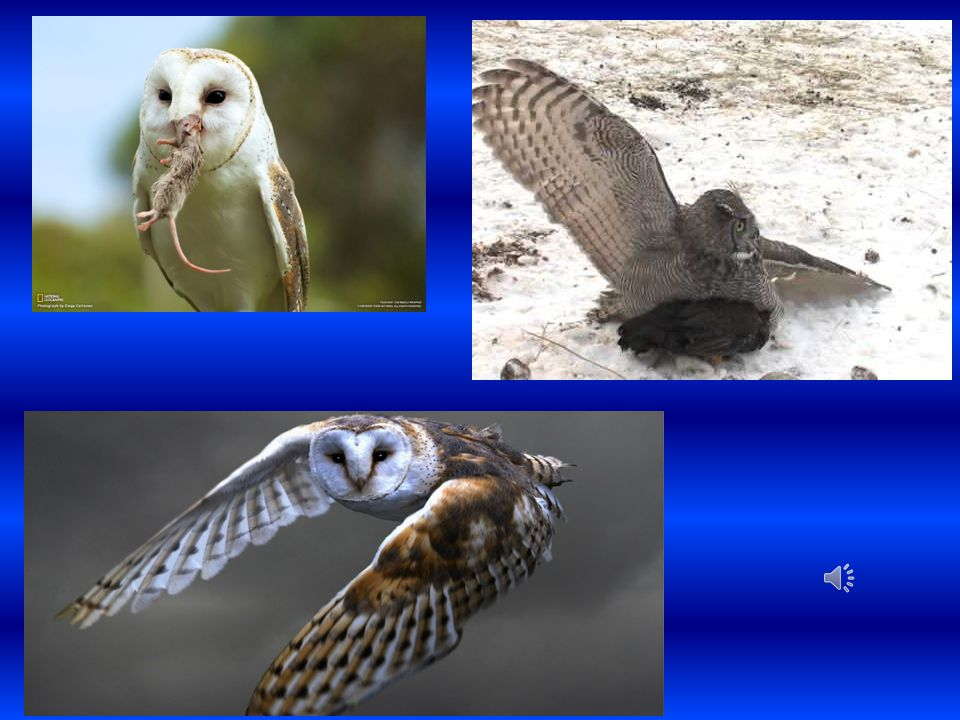 Voles eaten by Barn Owls compared to Voles eaten by Northern Pygmy Owls Species of OwlBarn OwlNorthern Pygmy Owl Number of Voles eaten 260104 Total Number of Prey Eaten 331194 Percentage of Prey Eaten 79%54%