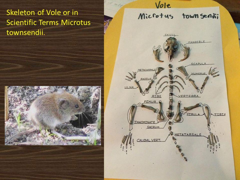 Skeleton of Vole or in Scientific Terms Microtus townsendii.