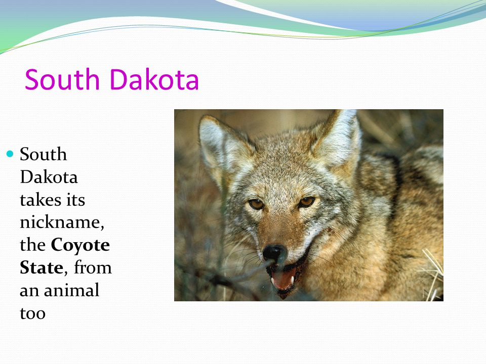 South Dakota South Dakota takes its nickname, the Coyote State, from an animal too