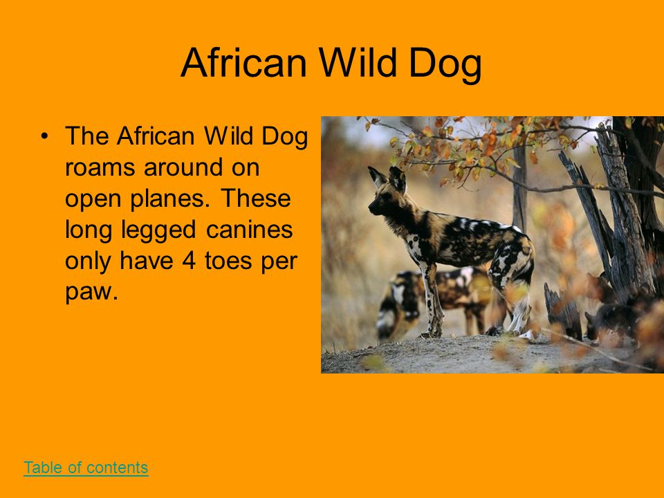 African Wild Dog The African Wild Dog roams around on open planes. These long legged canines only have 4 toes per paw. Table of contents