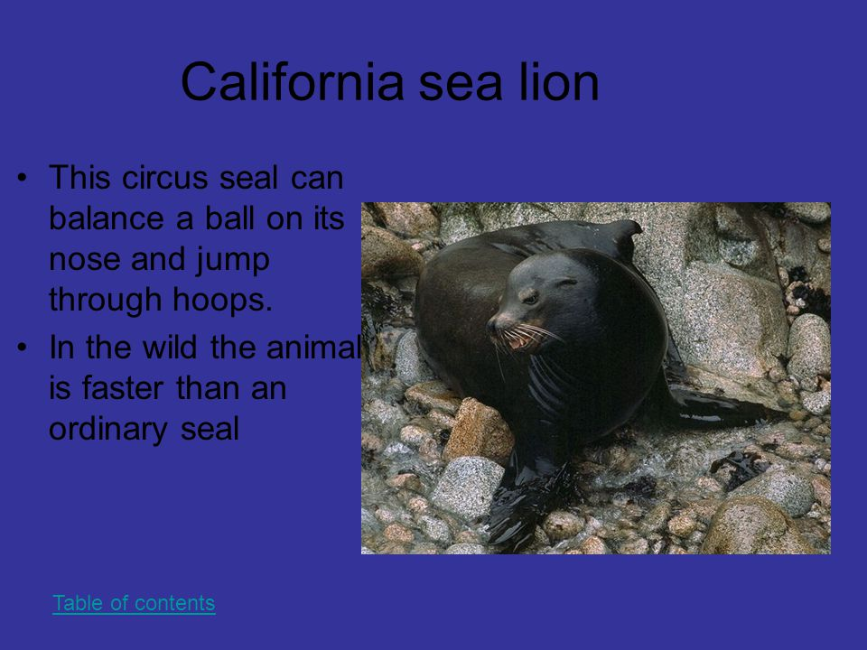 California sea lion This circus seal can balance a ball on its nose and jump through hoops. In the wild the animal is faster than an ordinary seal Tab