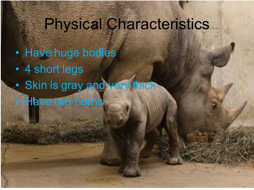Physical Characteristics Have huge bodies 4 short legs Skin is gray and very thick Have two horns