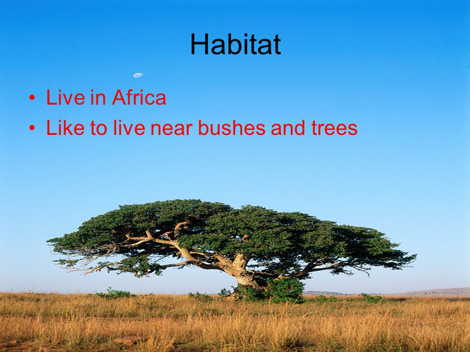 Habitat Live in Africa Like to live near bushes and trees
