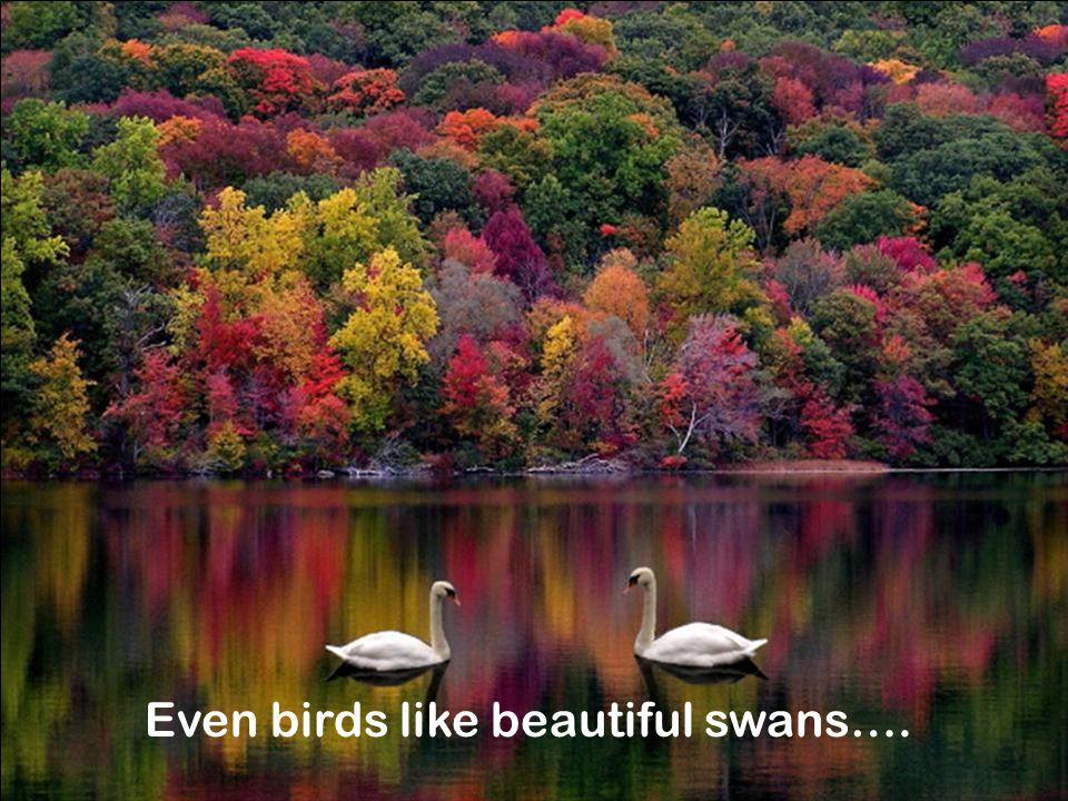 Even birds like beautiful swans….