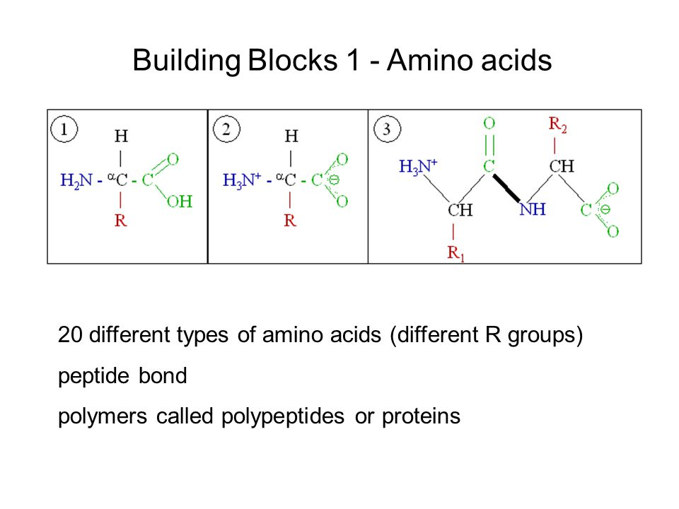 Building Blocks 1 - Amino acids 20 different types of amino acids (different R groups) peptide bond polymers called polypeptides or proteins