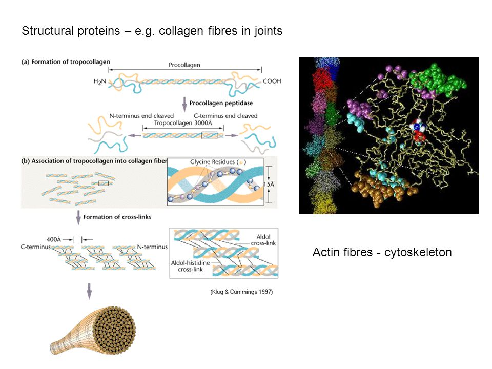 Structural proteins – e.g. collagen fibres in joints Actin fibres - cytoskeleton