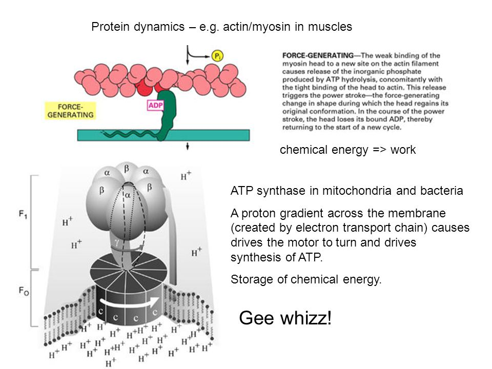 Protein dynamics – e.g. actin/myosin in muscles chemical energy => work ATP synthase in mitochondria and bacteria A proton gradient across the membran