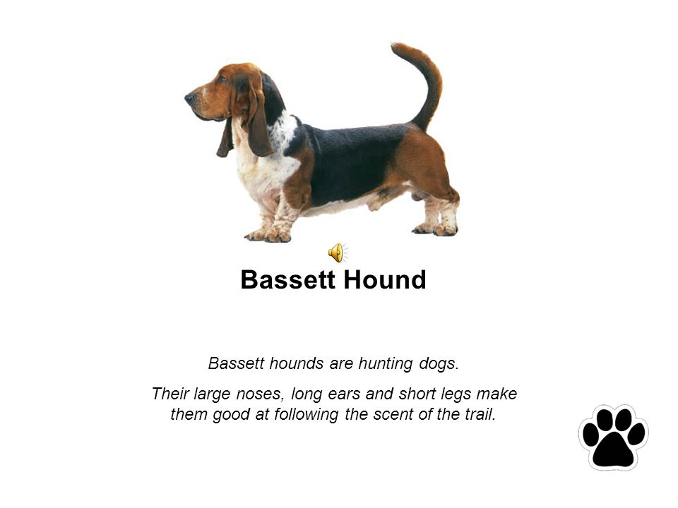 Bassett Hound Bassett hounds are hunting dogs.