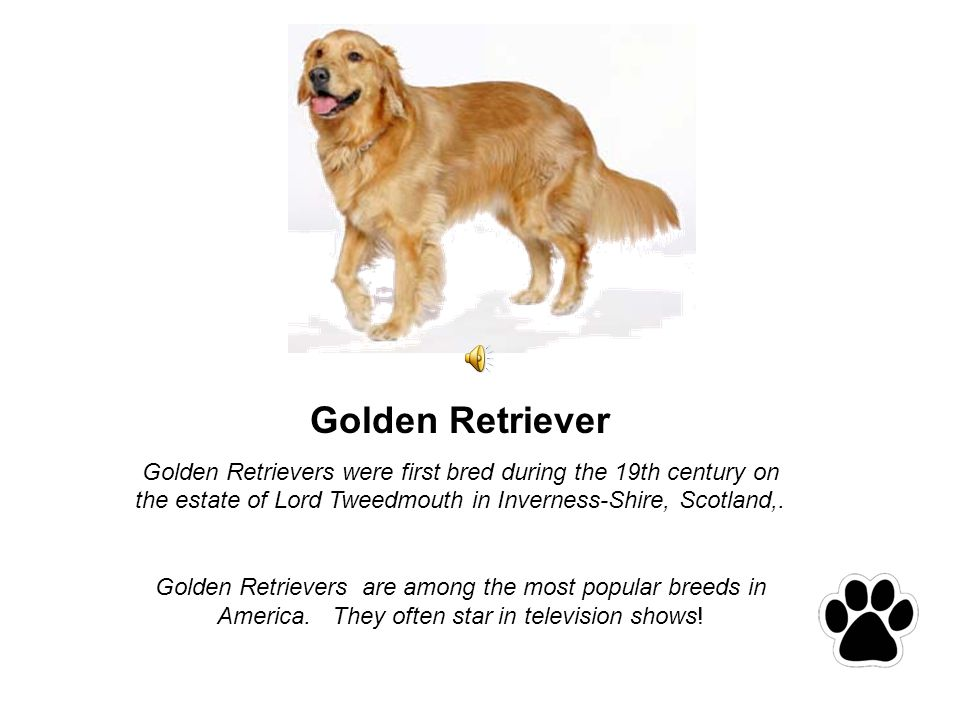 Golden Retriever Golden Retrievers were first bred during the 19th century on the estate of Lord Tweedmouth in Inverness-Shire, Scotland,.