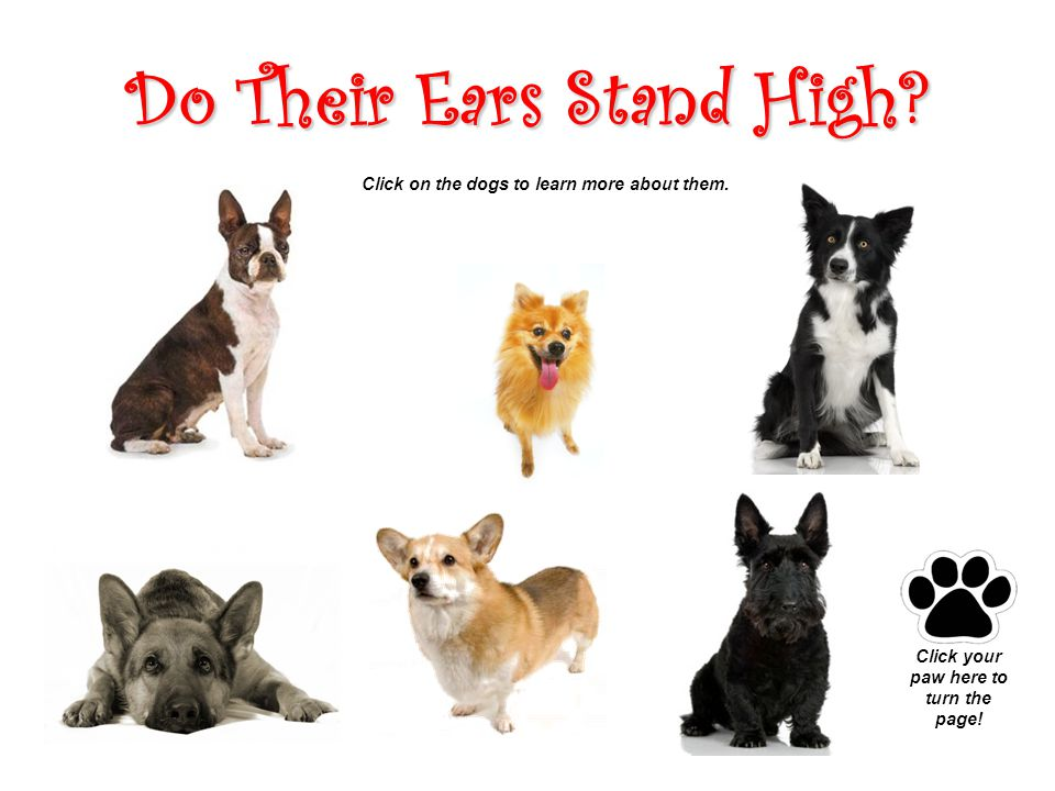 Do Their Ears Stand High. Click on the dogs to learn more about them.