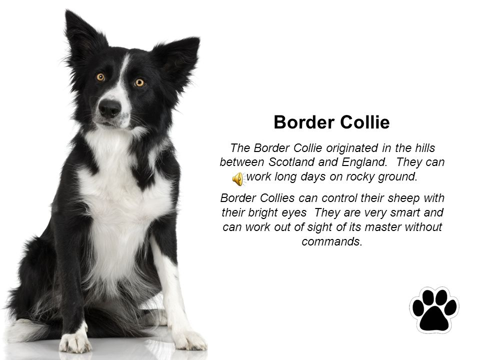 Border Collie The Border Collie originated in the hills between Scotland and England.