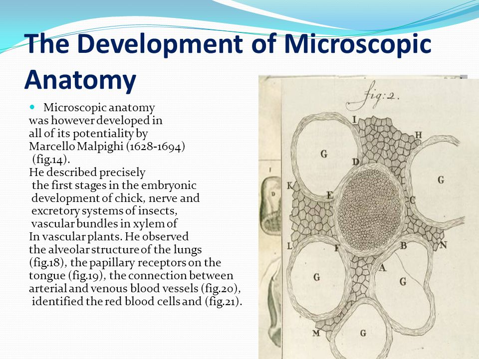 The Development of Microscopic Anatomy Microscopic anatomy was however developed in all of its potentiality by Marcello Malpighi (1628-1694) (fig.14).
