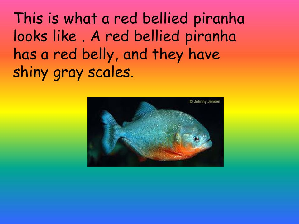 This is where a red bellied piranha lives.