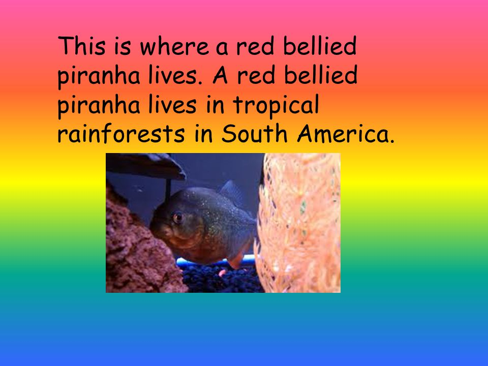 This is where a red bellied piranha lives. A red bellied piranha lives in tropical rainforests in South America.