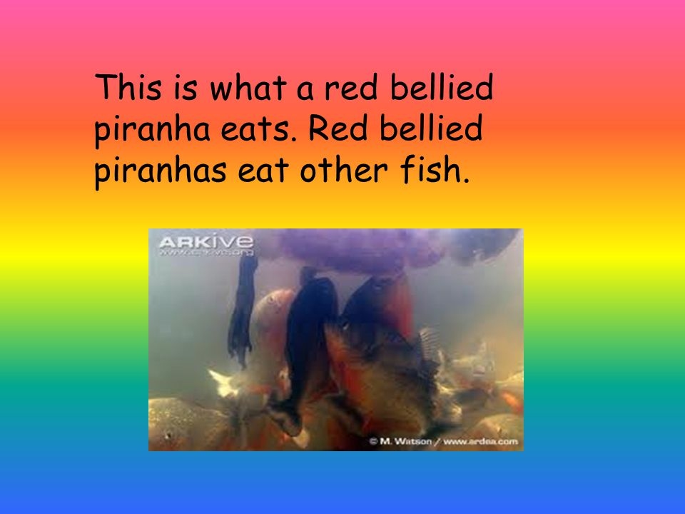 This is what a red bellied piranha eats. Red bellied piranhas eat other fish.