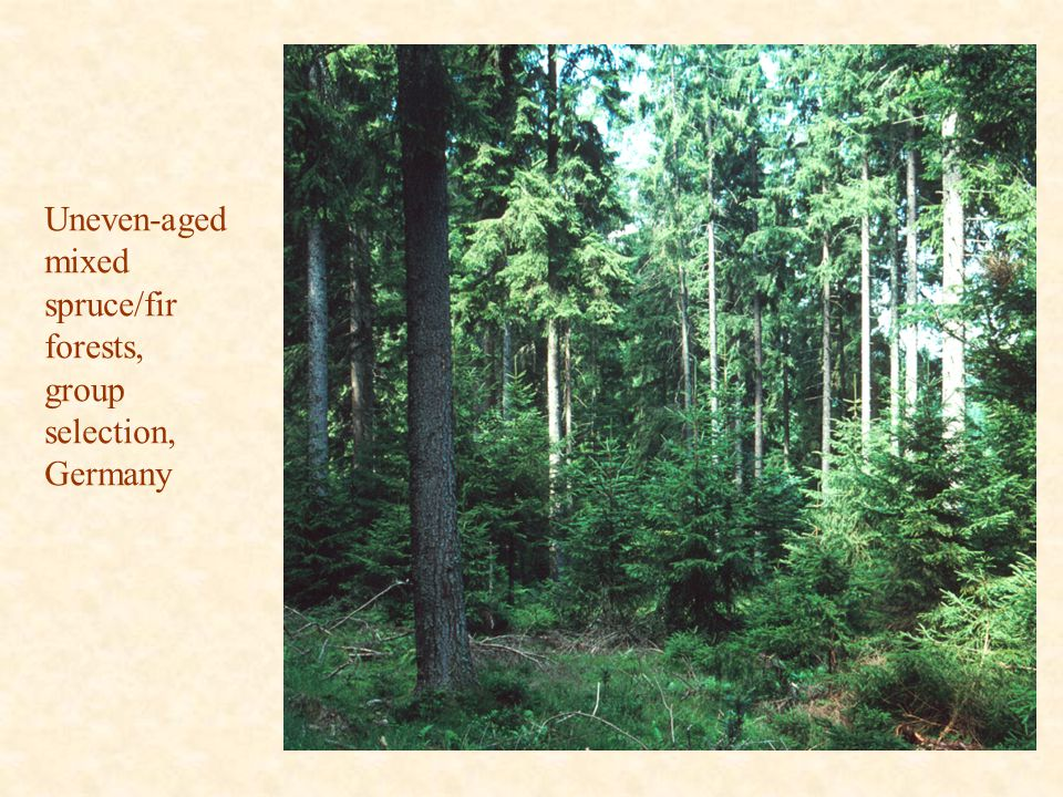 Uneven-aged mixed spruce/fir forests, group selection, Germany