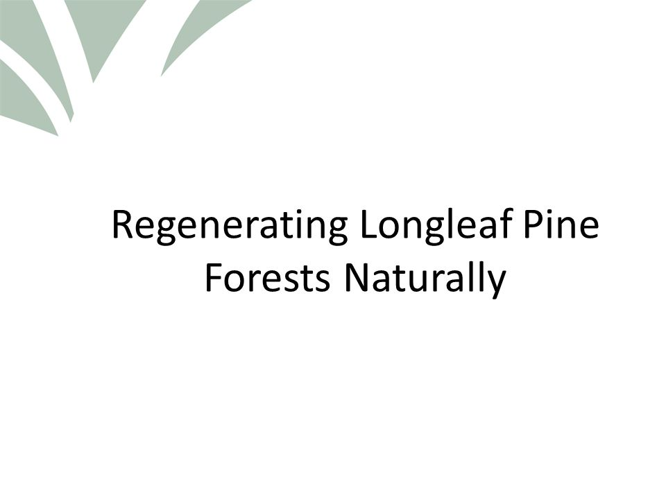 Click to edit Master title style Regeneration and Species Considerations Longleaf Pine – Sporadic seed producer – Seed generally only disperses 100 feet or so from the seed tree