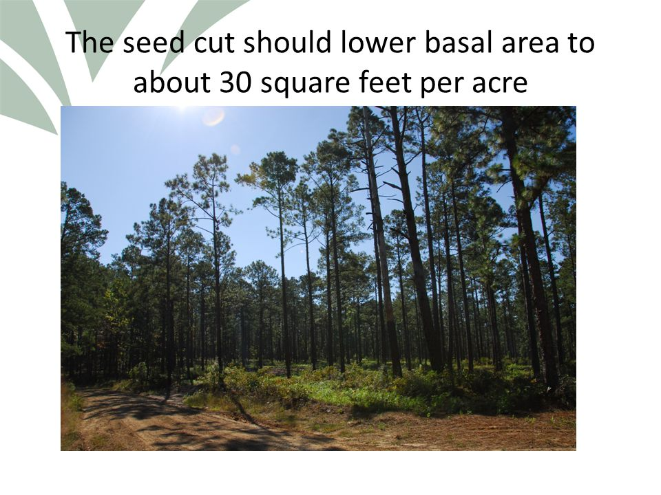 Click to edit Master title style The seed cut should lower basal area to about 30 square feet per acre